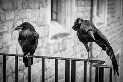 Putting on a show (James Waghorn) Tags: raven summer sigma1750f28exdcoshsm d7100 railings bird london blackandwhite silverefexpro2 toweroflondon england