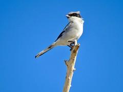 Loggerhead Shrike (morroelsie) Tags: loggerheadshrike shrike carrizoplains morrobaywinterbirdfestival morrobay centralcoast centralcoastbirds morroelsie