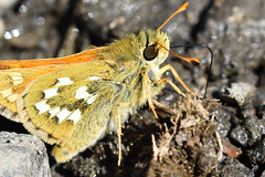 1233_by_realmantis (Realmantis) Tags: animal bug closeup insect invertebrate macro nature butterfly moth