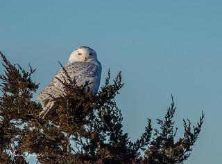 My first snowy owl of the season...