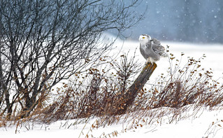 Snowy Owl on a post - rural west Ottawa (Explored)