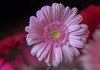 The Uses of Sorrow (12bluros) Tags: flower flora floral gerberadaisy pink canonef100mmf28lmacroisusm