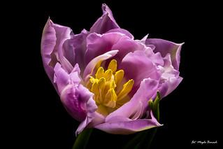 Lilac tulip