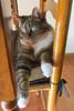 Gracie 5 February 2018 8378Ri 4x6 (edgarandron - Busy!) Tags: gracie patchedtabby cat cats kitty kitties tabby tabbies cute feline