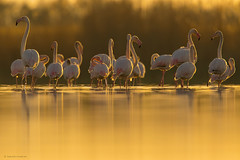FLAMENCOS (Carlos Cifuentes) Tags: flamenco flamingo greaterflamingo phoenicopterusroseus carloscifuentes wildlife nature wildlifenature bird birds