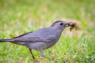 Gray Catbird eating something?