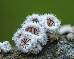 Winterpilze 1 (dr.klaustrumm) Tags: spaltblättlinge moos pilz winter schizophyllum stack