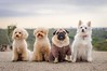 Perri-pandi, model dogs :) (shila009) Tags: dogs perros portrait gang perripandi poodles pug carlino spitzaleman dogmodels lilith nana horus cookie