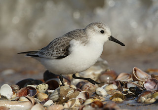 Sanderling (Calidris alba).