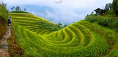 U Turn (Hilton Chen) Tags: guilin autumn longji longshengriceterraces curves people panorama china agriculture trees guangxiprovince green house layers ethnicminority farming mistymorning landscape yaopeople mienpeople guilinshi guangxizhuangzuzizhiqu cn
