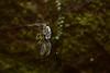 DSC_0560 (Hachimaki123) Tags: animal arachnid arácnido araña spider くも 蜘蛛 クモ 動物 日本 japan 伏見稲荷大社 fushimiinaritaisha 京都 kyoto トンボ dragonfly libélula 虫