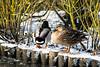 Cold Mallards (stevewanstall) Tags: locking duck mallard birds winter somerset waterice