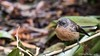 fantail (HelenB55) Tags: fantail d750 nikon2470 bird