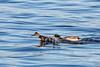 2018 01 13 - Lock and Dam 14-219.jpg (mh803) Tags: lockanddam14 duck wildlife nature waterfowl mallardduck iowa leclaire unitedstatesofamerica animal waterduck wild