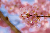 IMGL0492 (GARNETSKY2006) Tags: 180304sakura 5d3 sakura cherryblossom 50mmf12