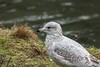 Ring-billed Gull (red-wing) Tags: bird animal outdoors nature canada britishcolumbia burnaby centralpark ringbilled gull ringbilledgull water pond young juvenile first year firstyear