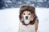 Snow Beagle (Jenny Onsager) Tags: snow beagle snowbabe blizzard chicagoland chitown pets animals dogs snowflakes cold illinois winter