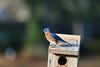 IMG_3748 (SweetMeow) Tags: bluebird home yard hiltonhead bird bluebirdbox