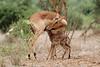 Aepyceros melampus ♀ (Impala) - South Africa (Nick Dean1) Tags: aepycerosmelampus impala krugernationalpark southafrica bovidae animalia chordata antelope mammal mammalia lamb doe