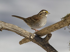 White-throated Sparrow (AllHarts) Tags: whitethroatedsparrow backyardbirds memphistn naturesspirit thesunshinegroup sunrays5