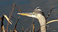 Great Blue Heron (Suzanham) Tags: heron bird grass wadingbird greatblueheron mississippi animal nature wildlife noxubeewildliferefuge profile