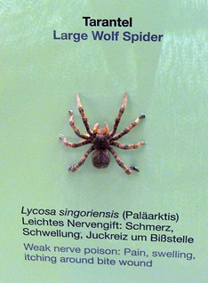 Lycosa singoriensis P1130364