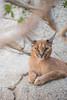 Caracal. (LisaDiazPhotos) Tags: caracal lisadiazphotos living desert palm wildlife