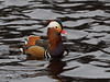 Mandarin  P1201544sm (Preselector) Tags: suttonpark suttoncoldfield suttoncoldfieldrspb winter bgbw duck mandarin