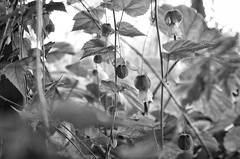 Leica X black and white (Xiaole wy & JV William) Tags: leica x 2870mm f3564 vario black white close up still life outdoor nature sunlight cloudy day rainy afternoon monsoon season south east asia equator leaf flower light shadow fs korg silky bokeh