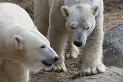 friends again (ucumari photography) Tags: ucumariphotography polarbear ursusmaritimus oso bear animal mammal nc north carolina zoo osopolar ourspolaire oursblanc eisbär ísbjörn orsopolare полярныймедведь anana nikita january 2018 dsc7350 specanimal