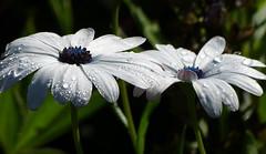 Cape marguerites (joeke pieters) Tags: 1360056 panasonicdmcfz150 spaansemargriet osteospermumecklonis dimorphothecaecklonis veldster kaapsemargriet capemarguerite bornholmmargerite bloem flower blume druppels drops droplets ngc npc platinumheartaward