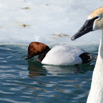 Trumpeter Swan with Canvasback in the background thumbnail