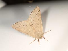 Arhodia lasiocamparia (dhobern) Tags: 2018 act aranda arhodialasiocamparia australia oenochrominae geometridae january lepidoptera