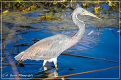 Tricolored Heron (photosbylag) Tags: eagles alligators blueherons greenheron hogs piglets