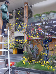 The flower guys (Roving I) Tags: workers workmen flowers trees tet blossoms stepladders venues vietnam danang memorylounge entertainment vertical