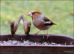Grosbec casse-noyaux (Jeanne-Marie C) Tags: oiseau grosbec grosbeccassenoyaux hawfinch kernbeiser frosone coccothrautescoccothrautes