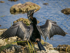 Anhiinga Drying Wings (tclaud2002) Tags: anhinga bird wings wildlife animal rocks nature mothernature phippspark stuart florida usa