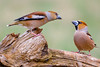 Where've you been, my dear? (ozrot) Tags: birds quarrel hawfinch conflict couple