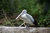 Australian Pelican (Pelecanus conspicillatus) (Seventh Heaven Photography) Tags: australian pelican pelecanus conspicillatus bird aves animal healesville wildlife sanctuary victoria australia nikond3200