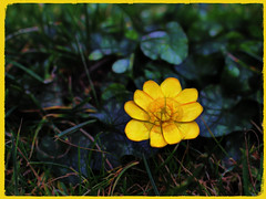 Sun Seeker (JulieK (thanks for 8 million views)) Tags: ficariaverna lessercelandine flower wildflower ireland irish hss sliderssunday canoneos100d postprocessed colour beautifulnature yellow green garden topazglow 2018onephotoeachday