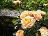 Roses in Balchik botanical garden, Bulgaria (cod_gabriel) Tags: roses rose trandafiri trandafir balcic balchik dobrogea dobruja dobrudja bulgaria dof depthoffield shallowfocus shallowdof shallowdepthoffield bokeh botanicalgarden balchikbotanicalgarden gradinabotanica grădinăbotanică cadrilater