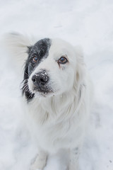 It's a nosey Rosie day. (Crawford Canines) Tags: bordercollie dog canine animal mammal pet herdingbreed snowstorm snow flurries snowing outdoors winter