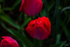 Flowers-Tulips-22.jpg (Chris Finch Photography) Tags: tulipasaxatilis spring tulip pinktulip flower tepals tulipalinifolia springblooming chrisfinchphotography perennial redtulip petal herbaceousbulbiferous petals tulipa pinktulips flowers tulipaturkestanica perennials herbaceous bloom bulb tulipagesneriana bulbs tulipaarmena lilioideae chrisfinch herbaceousbulbiferousgeophytes macrophotography tulipaclusiana blooming tulipahumilis redtulips wwwchrisfinchphotographycom tulips