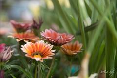 SUAVIDAD (eri - caperu) Tags: flores canarias sony 99
