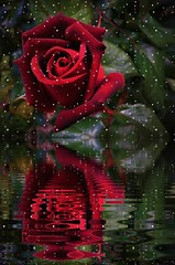 378. HAPPY VALENTINE'S DAY: Red Rose Reflections (Meili-PP Hua 2) Tags: plant plants flora leaves rose roses red redrose garden blossom blossoms petals pink crimson vermillion mlpphflora macro closeup reflections water raindrops photographypassionsxyz valentinesday happyvalentine valentinerose