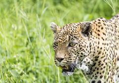 Leopard (Sheldrickfalls) Tags: leopard luiperd sabisands nottensbushcamp krugernationalpark kruger krugerpark mpumalanga southafrica coth5