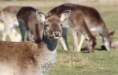 Deer in Bushey Park (ec1jack) Tags: bushey park kingston london england britain uk europe winter cold nature busheypark deer wildlife kierankelly canoneos600d ec1jack