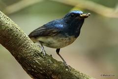 Hainan Blue Flycatcher (markus lilje) Tags: markuslilje thailand khaoyainp bird birds birding forest hainanblueflycatcher flycatcher cyornishainanus