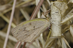 Eurema daira 2016-2 (lindnys) Tags: barredyellow costarica euremadaira sanjosé cr butterfly sommerfugl