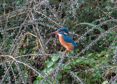 Kingfisher  ( Alcedo atthis ) Female (Dale Ayres) Tags: kingfisher alcedo atthis female bird nature wildlife